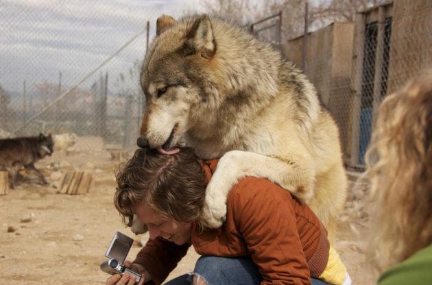 Twilight Wolf Human